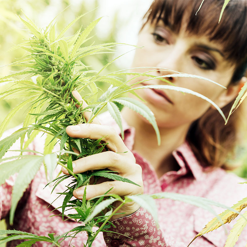 Woman Checking Out Weed Plants